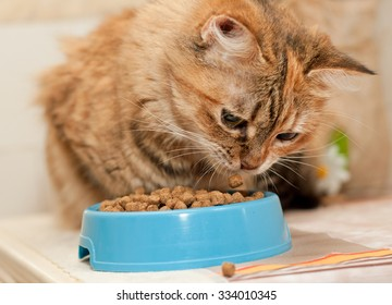 Tabby Cat eats dry cat food from blue bowl