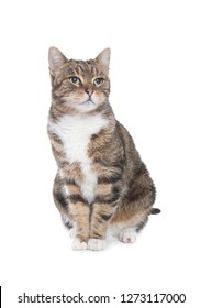 tabby cat front of a white background