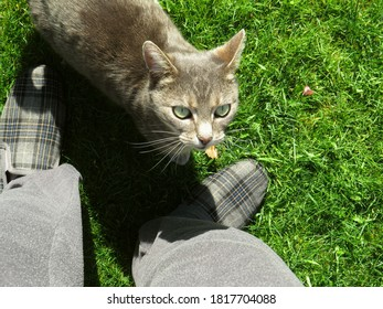 Tabby cat in the garden looking up at his owner whose feet are in view