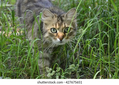 tabby cat with green eyes in green grass