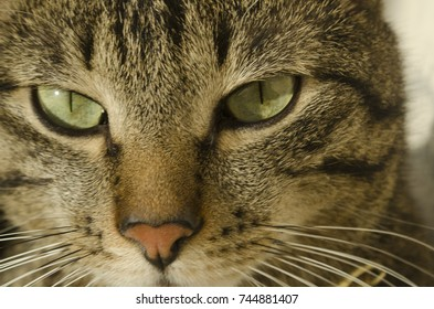 tabby cat with green eyes looks at you.