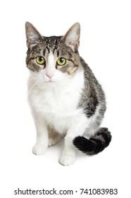 Tabby cat with grey and brown markings sitting on white