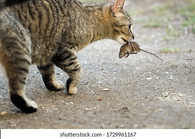 Tabby Cat Holding a Mouse in Muzzle