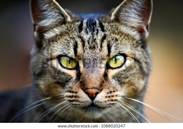 Tabby cat with a intense stare