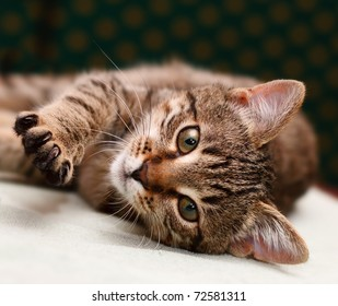 Tabby Cat laying on side looking into camera