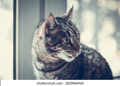 Tabby cat licks its lips and washes on the window