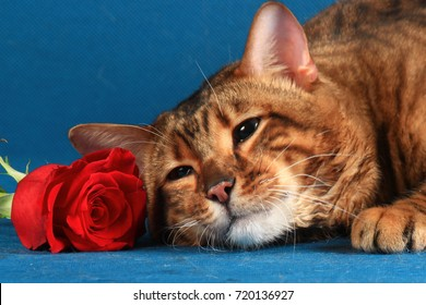A tabby cat lies next to a red rose, pressing his head against the flower. A large portrait