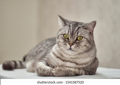 Tabby cat lies on its side on a white table. The British cat lies on its right side on a white surface and looks at the camera.