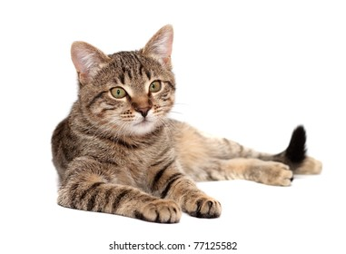 Tabby cat lies on white background