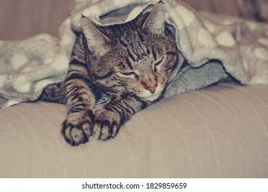 Tabby cat lies under the covers