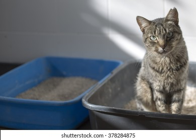 Tabby cat in a litter box