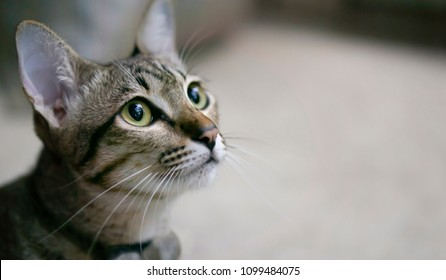 Tabby cat is looking at something Curiously in the right of picture