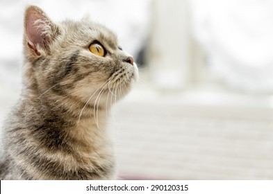 Tabby cat looking up with white background