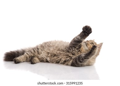 Tabby cat lying and catching on white background,isolated