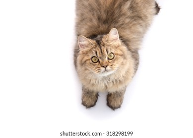 Tabby cat lying and looking up on white background,isolated