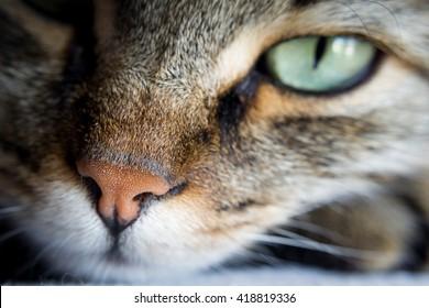 Tabby Cat Nose