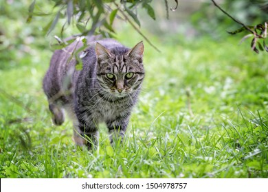 tabby cat on the hunt is roaming through the grass in the garden, green background with copy space, selected focus