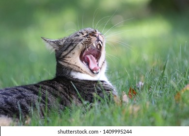 A tabby cat opens mouth wide in a teeth displaying, ferocious seeming yawn. This gives the appearance the cat may be yelling or shouting.