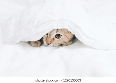 Tabby cat playing under a white blanket.