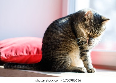 Tabby cat resting on a couch licking paw. cat washing paw lying on floor rug at home. Pet licking itself. Close-up Of Cat Licking Paw