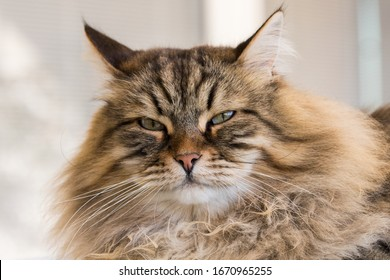 Tabby cat of siberian breed, brown color