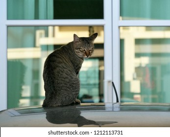 Tabby cat siting on dusty car roof in the garage in front of the door and looking back at camera.