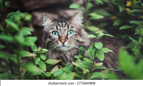 A tabby cat sits in the garden and looks out of the bushes. Walking Pets in nature in the Park
