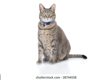 Tabby cat sitting and looking at camera isolated on white