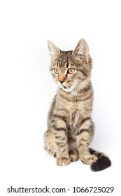 tabby cat is sitting and sticking out his tongue (isolated on white background)