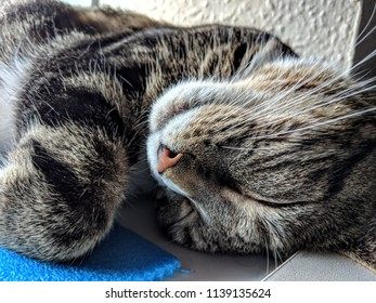 Tabby cat sleeping