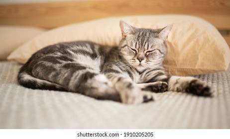 Tabby cat sleeping on the bed. Relaxation. Love for pets. Banner. Recreation