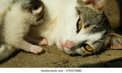 Tabby cat with a small blind newborn kitten in the yard in the village. Female mother. Village cute pup whelp whelping baby babies, freshly born tabby, eyes yellow domestic cat Felis silvestris catus
