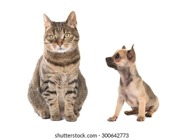 Tabby cat and small chihuahua dog puppy together isolated on a white background