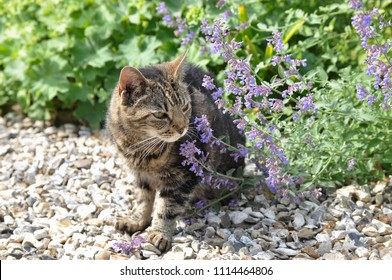 Tabby cat sniffing the catmint plant in the garden.