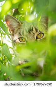 Tabby cat staring to camera whilst hiding in a bush with out of focus foliage in background and foreground. Much Hadham, UK