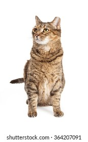 Tabby cat with tipped ear sitting down on a white background and looking up and to the side