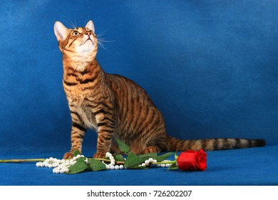 The tabby cat of the Toyger breed sits near the flower and jewel