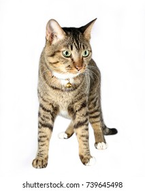 tabby cat in white background