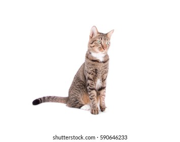 tabby cat in white background.Place for text banner