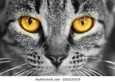 Tabby Cat with yellow eyes in black and white