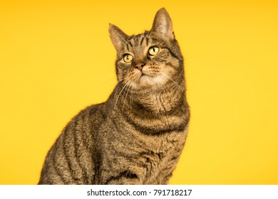 Tabby cat in a yellow studio setting with yellow puf
