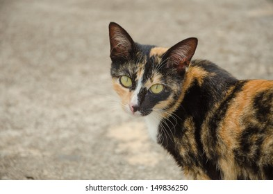 Tabby color with white, black and orange blot