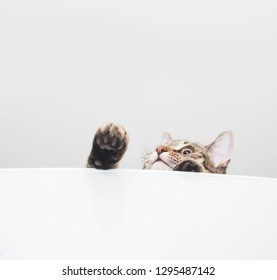 Tabby curious cat looking up. White background