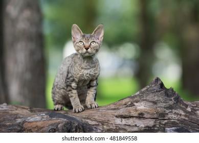 tabby devon rex kitten sitting on a tree