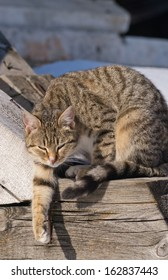 Tabby domestic cat (Felis Cattus) stretches its paw