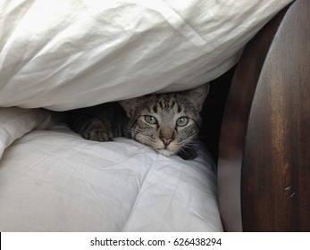 Tabby domestic cat looking out from under a down cover