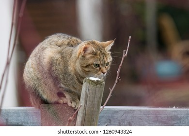 A tabby domestic cat lurking behind branches on a wall