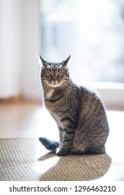 tabby domestic shorthair cat sitting on a sisal carpet in front of window