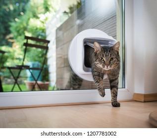 tabby european shorthair cat entering the room