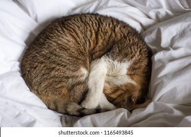 tabby fat cat lying a circle on bed in house